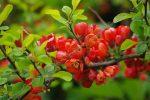 Айвы японской фото – правила посадки, особенности ухода за кустарником в Подмосковье, размножение, как выглядят плоды, описание сортов
