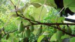 Актинидия как отличить мужское растение от женского – Растение актинидия: посадка и уход, фото, описание выращивания, виды: коломикта и аргута