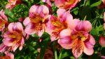 Альстромерия уход в домашних условиях – Альстромерия: выращивание из семян и клубнелуковиц. Посадка и уход в открытом грунте, болезни и вредители, сорта