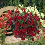 Ампельный львиный зев фото – когда сажать, выращивание из семян, посадка, уход, ампельный многолетний цветок антирринум в саду
