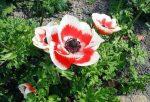 Анемоны фото и описание – описание, японская, корончатая, махровая, другие виды, сорта, посадка, уход, выращивание, размножение, сочетание с другими растениям