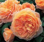 Английские розы фото – характеристика, сорта, выбор и посадка саженцев, уход, полив, обрезка, подкормка, подготовка к зиме, болезни и вредители, правила размещения в саду и сочетания с другими растениями