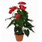 Антуриум мадурал – Купить Антуриум Андрианум Мадурал | Антуриумы | Красиво-цветущие | Горшечные цветы и растения