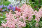 Астильба белая сорта – сорта и виды на фото с названиями, многообразие низкорослых и высоких сортов, от фиолетового дождя до курчавого лилипута