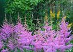 Астильба карликовая – сорта и виды на фото с названиями, многообразие низкорослых и высоких сортов, от фиолетового дождя до курчавого лилипута