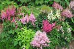 Астильба куст фото – сорта и виды на фото с названиями, многообразие низкорослых и высоких сортов, от фиолетового дождя до курчавого лилипута