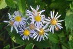 Астры когда расцветают – «Астральные» советы. Какие бывают многолетние астры, как за ними ухаживать? | Цветы | Дача