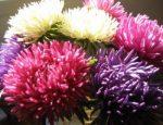 Астры пионовидные – Астры: выращивание из семян и особенности ухода фото пионовидных цветков