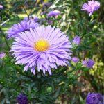 Астры синие – цветок сентябрина, выращивание белой, цвет это какой, описание, многолетняя из семян