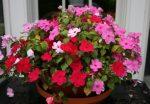 Бальзамин цветы фото