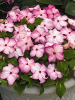 Бальзамин розовый махровый фото – ботаническое описание, особенности и фото сортов Уоллера, Афина с розовыми, белыми, другими цветками, а также советы по уходу в домашних условиях