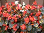 Бегонии ампельные фото – что это за цветок, какие названия у его сортов, как они выглядят на фото, а также чем отличается клубневая форма растения от обычной?