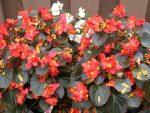 Бегония ампельная уход в домашних условиях фото – что это за цветок, какие названия у его сортов, как они выглядят на фото, а также чем отличается клубневая форма растения от обычной?
