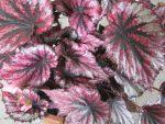 Бегония декоративнолистная – что это за вид комнатного растения, нюансы ухода и размножения в домашних условиях, а также фото с названиями сортов