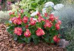 Бегония грацилис – описание групп растений, комнатные и ландшафтные разновидности, уход и защита от вредителей