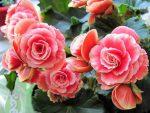Бегония крупноцветковая – Уход за растением бегония крупноцветковая, выращивание, размножение и фото растения бегония крупноцветковая