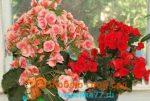 Бегония махровая уход в домашних условиях фото – описание цветов с фото, уход в домашних условиях и при посадке в открытый грунт, а также какими бывают лепестки — красными, белыми и другими