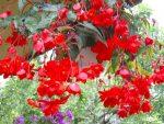 Бегония сорта – описание групп растений, комнатные и ландшафтные разновидности, уход и защита от вредителей