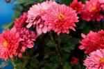 Большие хризантемы – классификация, характеристика популярных сортов, особенности посадки и ухода, способы размножения, применение в дизайне участка