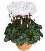 Цикламен персидский фото – Цикламены персидские | цикламены персидские комнатные растения | цикламены персидские уход | цикламены персидские фото
