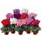 Цикломения цветок фото уход в домашних условиях – Цветок цикламен уход в домашних условиях, виды альпийской фиалки с фото, размножение и правильная пересадка для начинающих, проблемы выращивания дряквы