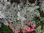 Цинерария цветы фото – посадка, уход в открытом грунте, однолетник или многолетник, серебристая, комнатная, приморская, кровавая