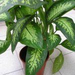 Цветок диффенбахия фото – Комнатное растение диффенбахия, уход и размножение в домашних условиях. Популярные виды и сорта диффенбахии (+фото)