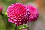 Цветок георгины фото – однолетние, многолетние, шаровидные, помпонные, игольчатые, другие виды, лучшие сорта, посадка, уход в открытом грунте, выращивание из клубней, семян, в ландшафтном дизайне