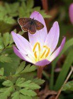 Цветок крокусы фото – Цветок крокус (шафран), фото, выгонка. Применение шафрана, полезные свойства крокуса. Выращивание крокуса дома. Приправа шафран, пряности, специи.