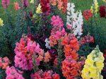 Цветок львиный зев фото и правила выращивания – когда сажать, выращивание из семян, посадка, уход, ампельный многолетний цветок антирринум в саду