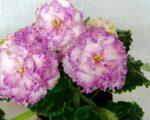Цветок шафран – Шафраны и бархатцы — это разные цветы? Как выглядят растения на фото, а также чем отличаются, и какие черты от них объединила в себе имеретинская разновидность?