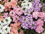 Цветок вербена фото посадка и уход – что это за травянистое растение, разновидности, фото цветов, листьев, описание необычайного аромата, а также где растет, правила ухода и выращивания.