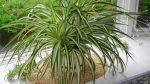 Цветок хлорофитум – уход в домашних условиях и особенности размножения, виды и сорта, болезни и вредители растения