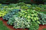 Цветок хоста – посадка и уход в открытом грунте, выращивание и сочетание в ландшафтном дизайне, фото, размножение сорта
