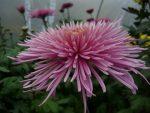 Цветок хризантема – классификация, характеристика популярных сортов, особенности посадки и ухода, способы размножения, применение в дизайне участка