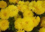 Цветок хризантемы – классификация, характеристика популярных сортов, особенности посадки и ухода, способы размножения, применение в дизайне участка