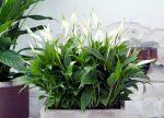 Цветок женское счастье виды фото – что такое комнатный Спатифиллум, фото и описание видов, все об уходе в домашних условиях, похожие на него растения, а также что он любит