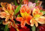 Цветы альстромерии – характеристика цветов, лучшие сорта, посадка, уход, полив, подкормка, подготовка к зиме, размножение, использование в дизайне сада, сочетание с другими цветами при посадке и составлении букетов