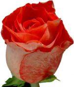 Цветы альстромерия фото – цветы фото, опт цветов, цветы оптом, продажа цветов, фото цветов, купить живые цветы, названия цветов, каталог цветов, цветы каталог, роза, лилия, хризантема, гвоздика, альстромерия, амариллис, антуриум, гербера, гидрангея, гиперикум, гипсофила, дельфиниум, калла, леукадендрон, лизиантус, лимониум, орхидея, статица, тюльпан, фрезия, целозия, экзотика, зелень, нарцисс, ирис, гиацинт