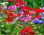 Цветы анемоны фото – описание, японская, корончатая, махровая, другие виды, сорта, посадка, уход, выращивание, размножение, сочетание с другими растениям