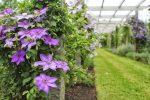 Цветы фото клематисы – посадка и уход в открытом грунте, выращивание и размножение сорта, фото, сочетание в ландшафтном дизайне