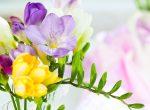 Цветы фрезии фото – посадка и уход в открытом грунте в домашних условиях и выращивание в горшках (100 фото цветов) – Кошкин Дом