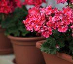 Цветы герань фото – уход в домашних условиях для начинающих, чтобы растение цвело, проведение обрезки зимой, фото, видео