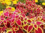 Цветы колеус фото посадка и уход – уход в домашних условиях , выращивание, размножение, посадка, пересадка, обрезка, виды, фото растения