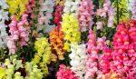 Цветы львиный зев многолетние или однолетние – Цветок львиный зев посадка и уход а так же выращивание из семян рассады, названия и фото сортов львиного зева; белый, красный, махровый, карликовый, баттерфляй