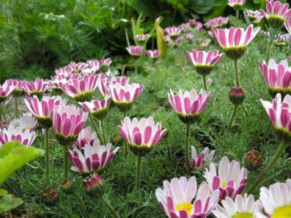 cvety-pohozhie-na-astry-nazvanie_0.jpg