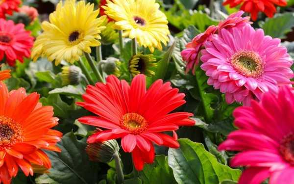 cvety-pohozhie-na-astry-nazvanie_10.jpg