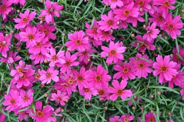 cvety-pohozhie-na-astry-nazvanie_11.jpg