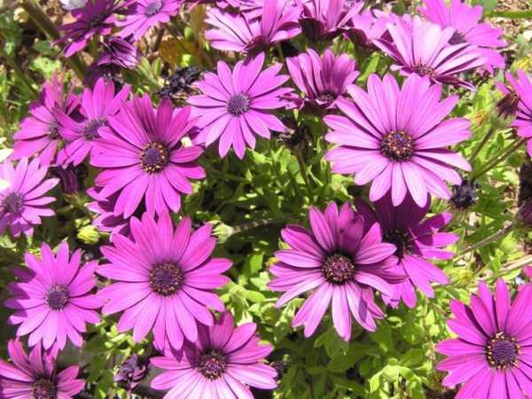 cvety-pohozhie-na-astry-nazvanie_12.jpg