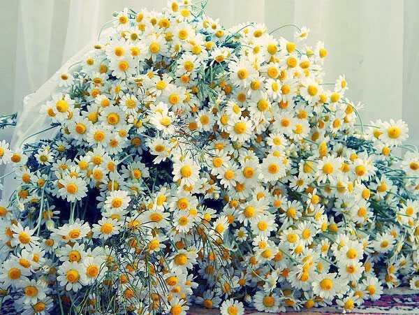cvety-pohozhie-na-astry-nazvanie_13.jpg